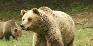 Ρωσία: Οίκο ευγηρίας για τις υπερήλικες αρκούδες ετοιμάζει ζωολογ. κήπος