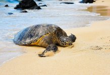 «Πάνω από τις μισές θαλάσσιες χελώνες παγκοσμίως έχουν φάει πλαστικό»