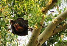 Οι νυχτερίδες μεταναστεύουν νωρίτερα λόγω κλιματικής αλλαγής