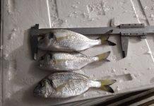 Γονο…κτονία στο Αιγαίο – Κατασχέθηκαν ψάρια με παράνομο μέγεθος