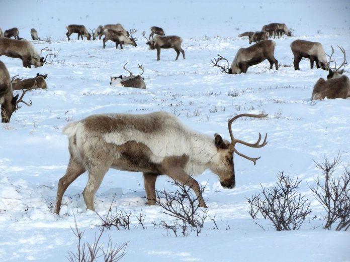 Στη Νορβηγία δεν θα κατασκευάσουν αιολικό πάρκο για να προστατέψουν τους ταράνδους