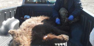 Φράχτη για αποφυγή τροχαίων με θύματα αρκούδες ζητά η Καλλιστώ