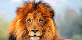 Λιοντάρια κατασπάραξαν λαθροθήρες στη Νότια Αφρική