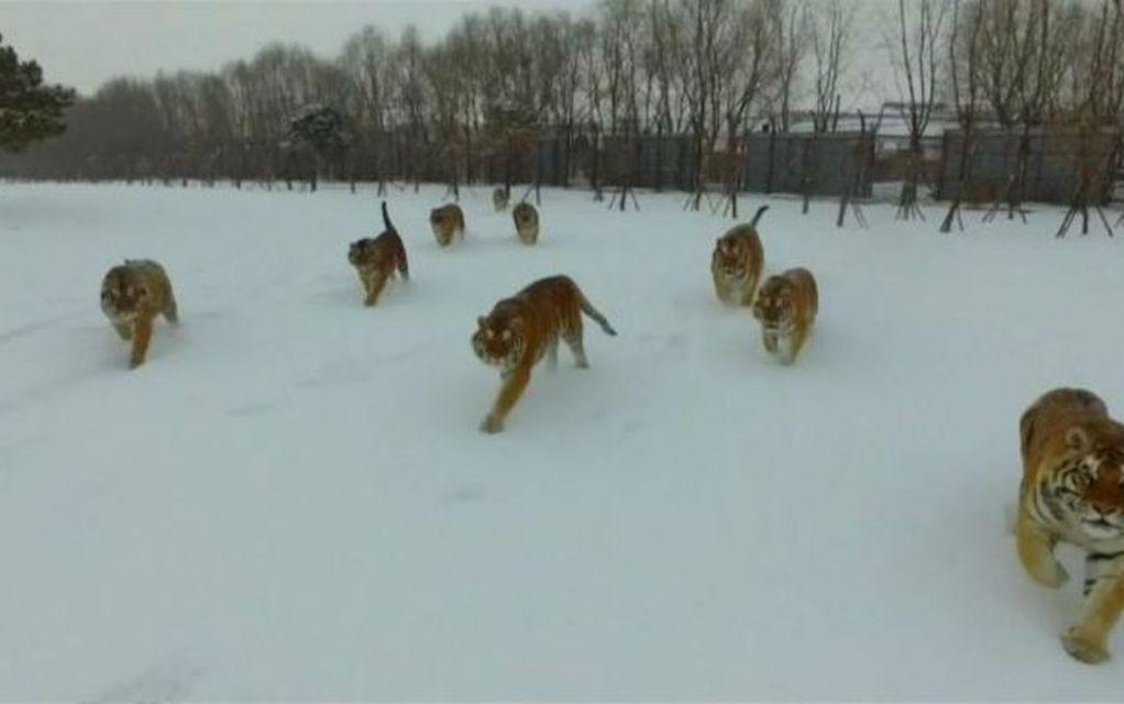 Τίγρεις της Σιβηρίας καταδιώκουν drone!