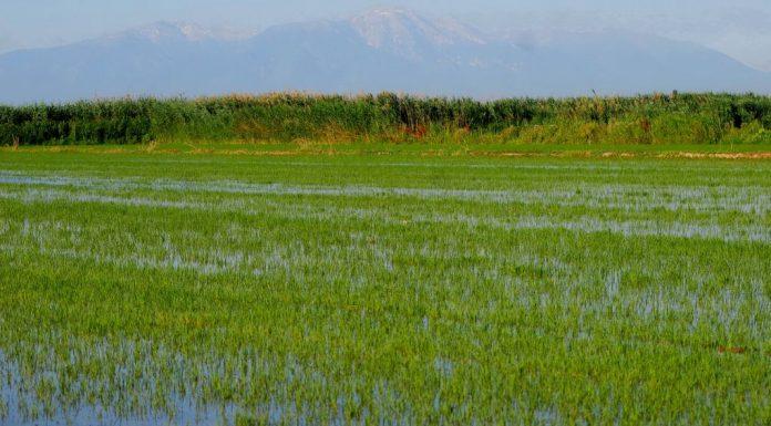 Ενισχύσεις στους ορυζοκαλλιεργητές για εναλλακτική καταπολέμηση ζιζανίων