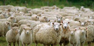 Πώς συνδέεται η σκλήρυνση κατά πλάκας με τα πρόβατα