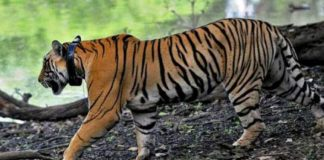 Ινδές γυναίκες πάλεψαν με τίγρη και έφυγαν μόνο με γρατσουνιές!