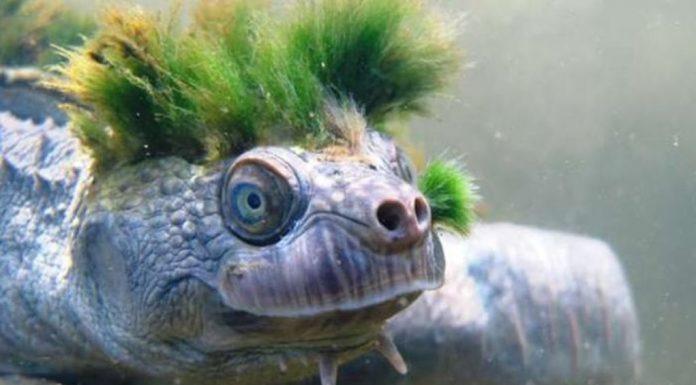 Χελώνα με πράσινα μαλλιά αναπνέει από τα γεννητικά της όργανα!