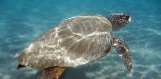 Αργολίδα: Τραυματισμένη χελώνα εντοπίστηκε στην Ερμιόνη