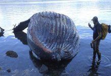 Νεκρή φάλαινα με πάνω από 40 κιλά πλαστικές σακούλες στο στομάχι (vd)