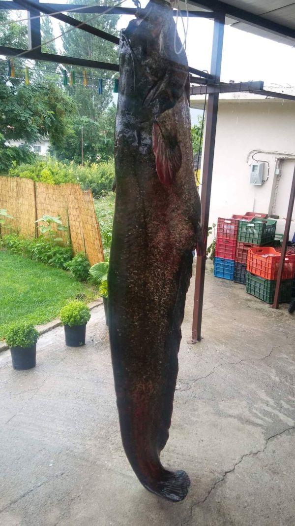 Γουλιανό μήκους 2,30μ και 84 κιλών ψάρεψαν στην Κοζάνη (pic)