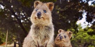 Αυστραλία: Αυξάνεται ο πληθυσμός των κουόκα - Είχαν μειωθεί κατά 90%