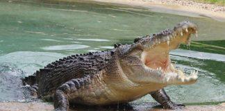 Αυστραλία: Κροκόδειλοι βγήκαν στους δρόμους!