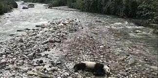 Νεκρό πάντα εντοπίστηκε σε όχθη στην Κίνα - Θύμα των καταρρακτωδών βροχών