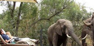 Τουρίστες άραζαν σε ξαπλώστρα και τρεις ελέφαντες έπιναν... νερό από την πισίνα! (vd)