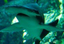 Ανακαλύφθηκε ο πρώτος φυτοφάγος καρχαρίας!