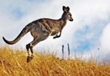 Αυστραλία: Καταζητούνται άνδρες που βασάνισαν και σκότωσαν καγκουρό