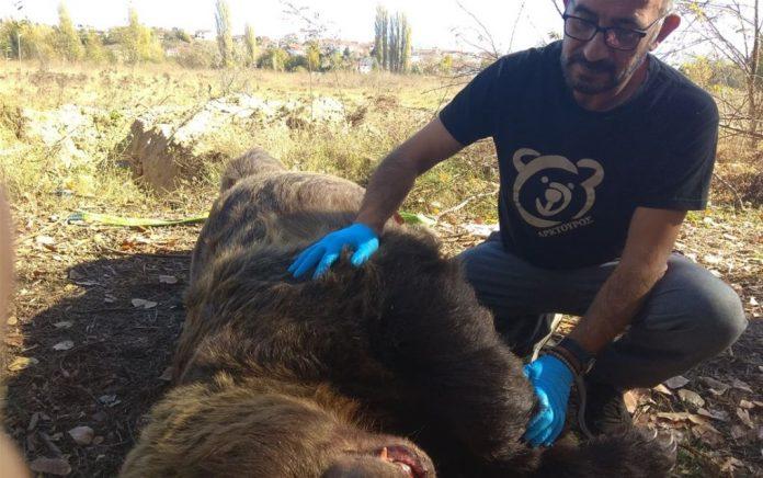 Αρκούδα... 390 κιλών σε τροχαίο στην Καστοριά - Politik.gr