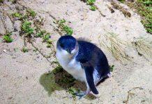 Νεκροί βρέθηκαν σε παραλία της Αυστραλίας 60 πιγκουίνοι