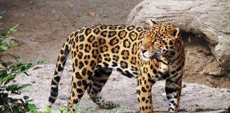 Αττικό Ζωολογικό Πάρκο: Θανάτωσαν δύο τζάγκουαρ που δραπέτευσαν