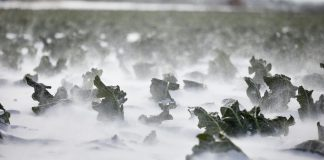 Καλλιέργειες, θαμμένες στο λευκό πέπλο του χιονιά...