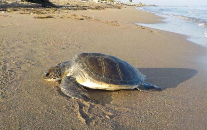 Μέτρα για την προστασία της θαλάσσιας χελώνας στην Κρήτη