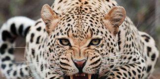 Τραγωδία στη Ν. Αφρική: Νεκρό 2χρονο παιδί από επίθεση λεοπάρδαλης