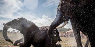 Μποτσουάνα: 100 ελέφαντες θύματα της ξηρασίας