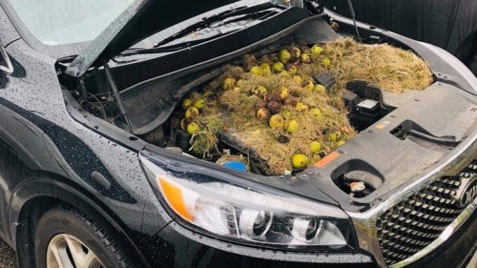 Zευγάρι βρήκε στη μηχανή του αυτοκινήτου του πάνω από 200 καρύδια και χόρτα που είχαν αποθηκεύσει σκίουροι