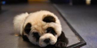 Κίνα: Καφέ έβαψε σκύλους για να μοιάζουν με πάντα