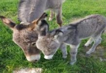 Η παρασκευή κινέζικων φαρμάκων από το δέρμα γαϊδάρου, θα εξαλείψει τον μισό παγκόσμιο πληθυσμό των ζώων