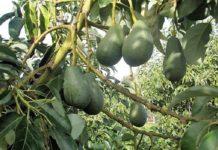 ΕΙΔΙΚΟ ΘΕΜΑ: Προϊόντα από ελληνικό αβοκάντο στις αγορές της Ευρώπης και των Αραβικών χωρών