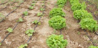 Η κλιματική αλλαγή «κοστίζει» και στη λαχανοκομία