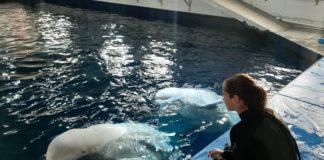 Η Τζένα Γκόλντσακ σε αποστολή προστασίας της φάλαινας μπελούγκα