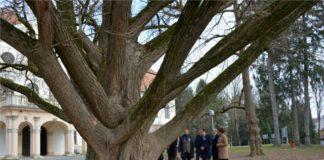 Κροατία: Ενα... ερωτευμένο δέντρο, ηλικίας 242 ετών, σε ευρωπαϊκό διαγωνισμό