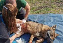 Σώθηκε η λύκαινα που πιάστηκε σε καγκελόπορτα στον Καστανά (vd)