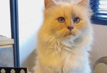 Tι κάνει η γάτα του Καρλ Λάγκερφελντ Choupette;