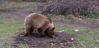 Αρκούδες βγήκαν… βόλτα στην έρημη Καστοριά (vd)