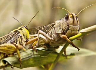 Απίστευτη εισβολή ακρίδων στην Ινδία (vds)