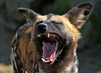 Κουρούτα Ηλείας: Ανήλικος δέχθηκε επίθεση από αγέλη σκυλιών