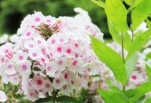 Βαλεριάνα: Όλα όσα πρέπει να γνωρίζετε για το ηρεμιστικό της φύσης
