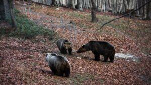 Φλώρινα: Κινητοποίηση για μεγαλόσωμη αρκούδα που παγιδεύτηκε σε παράνομη θηλιά