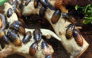 Οι κατσαρίδες μπορεί να προκαλέσουν άσθμα και αλλεργική ρινίτιδα